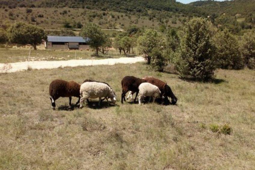 Les brebis du Chant des Collines - élevage biologique à Lagorce Sud Ardèche